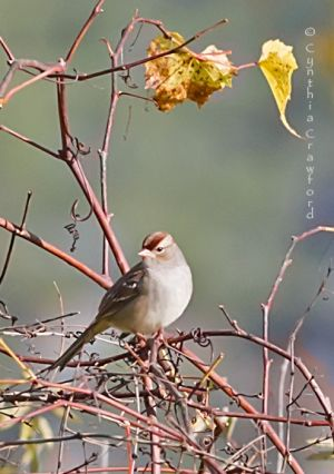 White-crowned Sparrow, Norwich, Vt. 10/2013