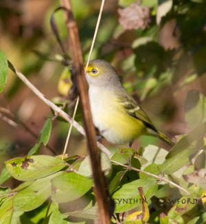 White-eyed Vireo, 10/2013, Norwich, Vt. Very rare for Windsor County
