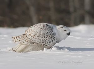 snowy,beak.c.crawford.jpg