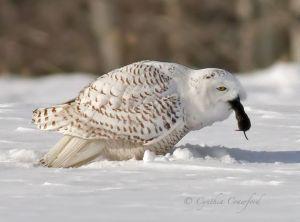 snowy.owl.prey.c.crawford.jpg