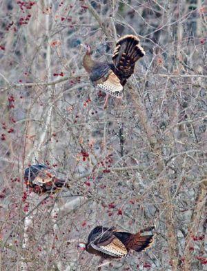 03.turkeys.tree_7796.jpg