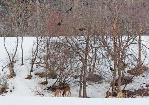 05.turkeys.deer_7865.jpg