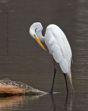 great.egret.c.crawford.jpg