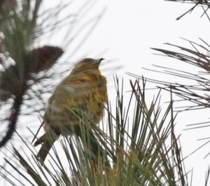 red.crossbill.female_2691.jpg