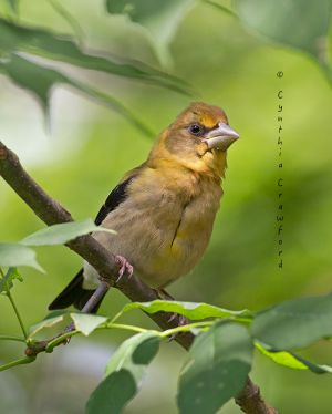 evening.grosbeak.immature.fed.jpg