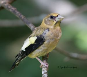 evening.grosbeak.immature.jpg