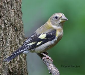evening.grosbeak.immature2.jpg