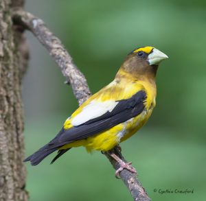 evening.grosbeak.male2.jpg