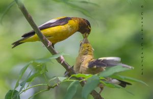evening.grosbeaks.feeding.jpg