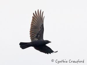 Crow chasing a Peregrine