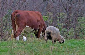 cattle.egret.cow_7525.jpg