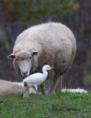cattle.egret.sheep2_7660.jpg