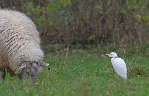 cattle.egret.sheep_7580.jpg