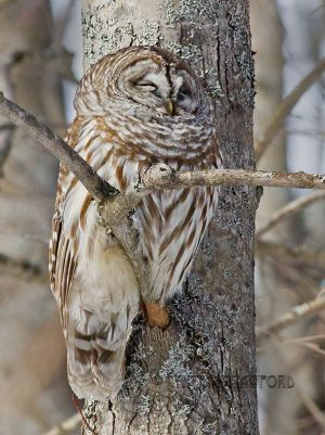 barred.owl_0912